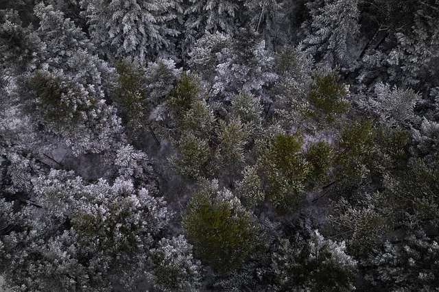 Free download Black Forest Firs Trees Fir free photo template to be edited with GIMP online image editor