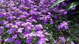 Free download Flower Purple Bloom free video to be edited with OpenShot online video editor