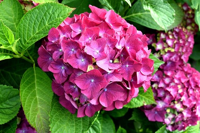 Free download Hydrangea Pink Nature free photo template to be edited with GIMP online image editor