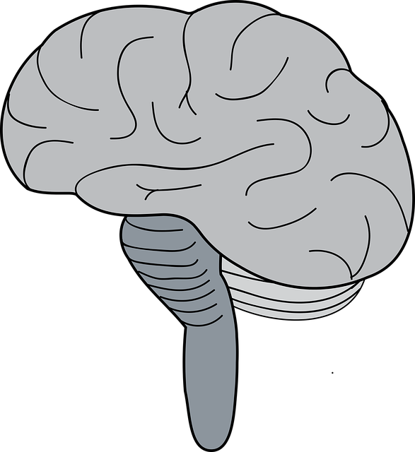 Free download Brain Cerebrum BrainstemFree vector graphic on Pixabay free illustration to be edited with GIMP online image editor