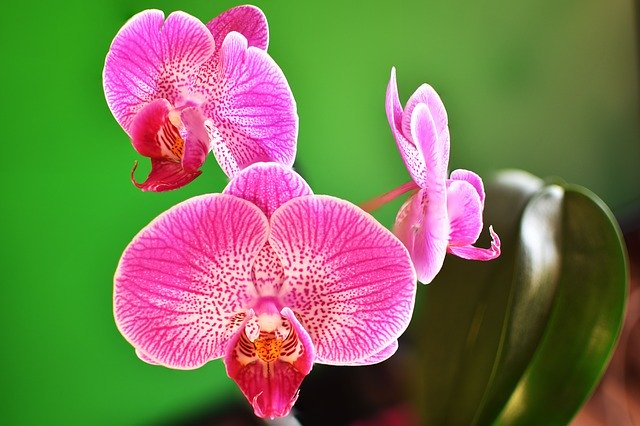 Free download Orchid Flowers Macro free photo template to be edited with GIMP online image editor